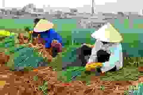 Thu nhập 150 triệu/ha từ trồng hành hoa
