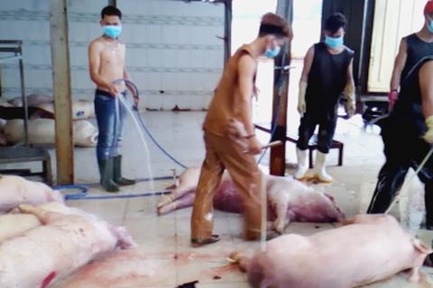 TPHCM: Tiêu hủy khẩn gần 4000 con heo bị tiêm thuốc an thần