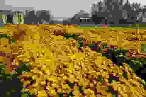 Quảng Bình: Làng hoa chạy đua với Tết