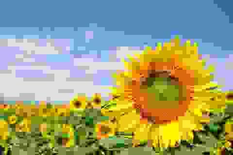 Như hoa hướng dương luôn hướng về mặt trời