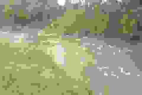 Sóc Trăng tiêu hủy hàng ngàn con gia cầm nhiễm cúm A/H5N1