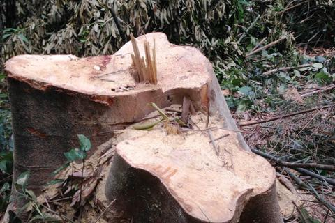 """Cây rừng trơ gốc, kiểm lâm nói """"không có vụ phá rừng nào"""" (!)"""