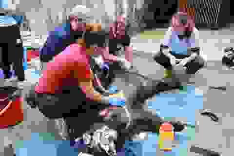 Giải cứu 3 cá thể gấu ngựa bị nhốt trong lồng gần 20 năm