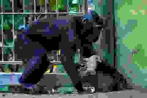 """Khỉ cô đơn bất ngờ """"cưu mang"""" gà con"""