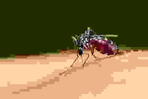 Muỗi đã tiến hóa để bay với cái bụng căng máu mà bạn không thể phát hiện