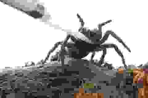 Nọc độc của nhện có thể giúp điều trị đột quỵ?