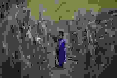 Triều Tiên thiếu lương thực trầm trọng do hạn hán kỷ lục