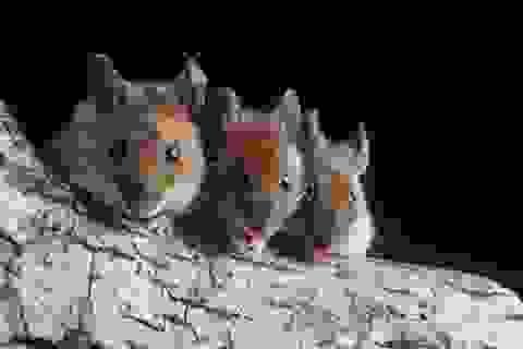 Kỹ thuật cấy ghép mới để tăng thị lực đã thành công trên chuột