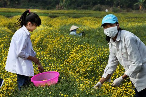 Nữ sinh nườm nượp rủ nhau kiếm tiền trên cánh đồng đẹp như mơ