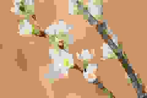 Anh Đào Sakura nhập khẩu Nhật  - thú chơi Hoa Tết xa xỉ hút khách