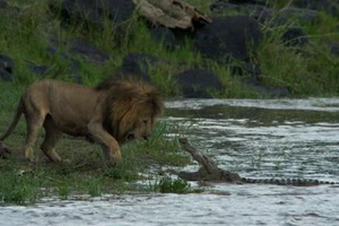 """Sư tử vật lộn với cá sấu """"khủng"""" để cứu bạn dưới sông"""