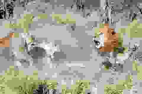"""Sư tử đực bị những con cái """"bắt nạt"""" khi quay lại đàn sau một thời gian bỏ đi"""