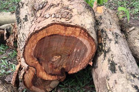 Hà Nội: Trộm gỗ sưa đỏ quý trị giá tiền tỉ trong đình, chùa