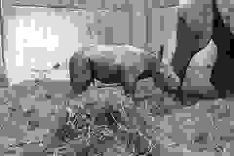Khoảnh khác hiếm thấy tê giác đen sinh con trong vườn thú
