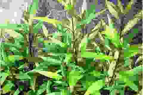Phát hiện đột phá về tác dụng điều trị HIV-AIDS của cây lá liễu tìm thấy ở Việt Nam