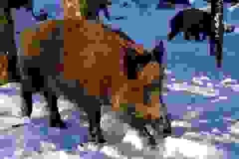 Lợn nhiễm phóng xạ đang lang thang khắp Trung Âu khiến nhiều người lo lắng