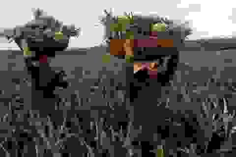 Thương lái Trung Quốc vơ vét dứa nguyên liệu