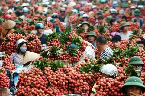 Phụ thuộc thị trường, 80% rau quả Việt được xuất sang Trung Quốc