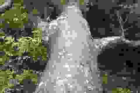 Bộ Kế hoạch lập dự án bảo tồn hàng trăm cây Xích tùng cổ ở Yên Tử