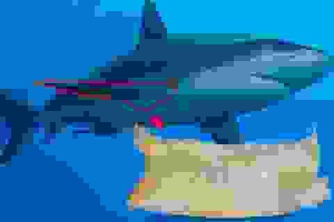 Có thật vây cá mập có công dụng thần kỳ?
