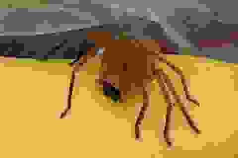 Kinh hãi phát hiện nhện độc nhất thế giới lẩn trốn trong nải chuối mua ở siêu thị