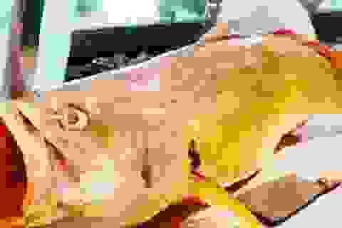 Cá sủ vàng giá cả 1,5 tỷ đồng: Đắt vì giá trị dinh dưỡng, tâm linh?