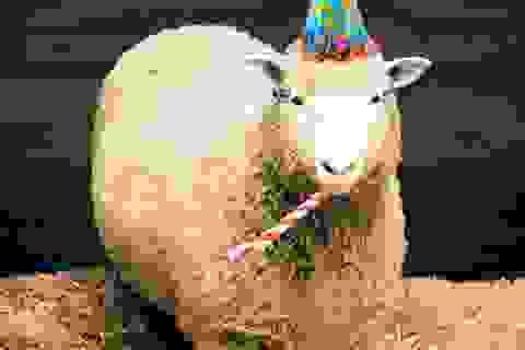 Đố bạn: Cừu Dolly được nhân bản khi nào?