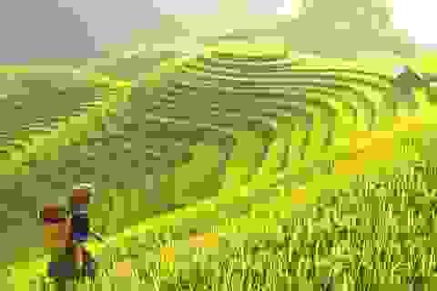 Lúa được bảo tồn an toàn ở ngân hàng gen Philippines