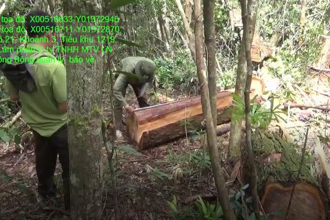 """48 cây pơ mu """"khủng"""" bị đốn hạ, kéo ra khỏi rừng bằng xe trâu"""