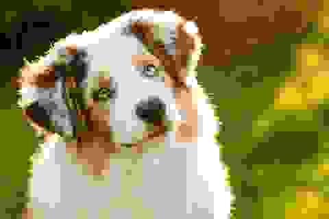 Các nhà khoa học giải mã mức độ hiểu và xử lý từ ngữ của chó