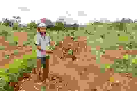 Gia đình thương binh già 5 ngày 3 lần bị kẻ xấu phá vườn, triệt cây trồng