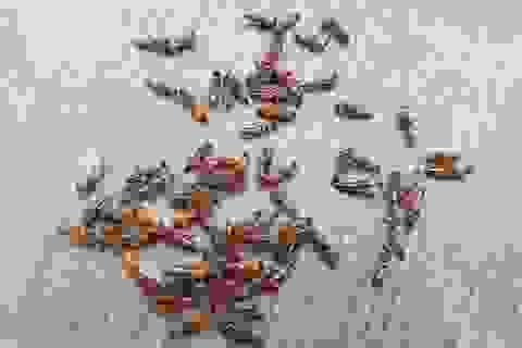 Dân chung cư Hà Nội khốn khổ vì kiến ba khoang tấn công