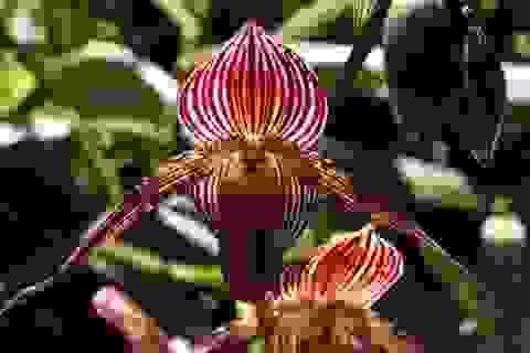 Chiêm ngưỡng loài hoa lan 136 triệu đồng/cây