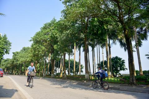 Hoa sữa tỏa mùi nồng nặc ở Hà Nội