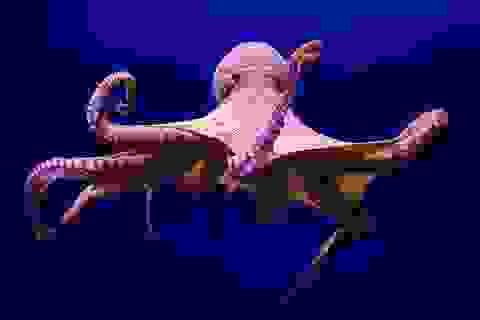 """Kì lạ """"bạch tuộc đực"""" bất ngờ sinh hàng nghìn bạch tuộc con"""