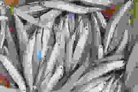 Từ loại cá ít ai ăn, nay rộ tin thu mua tiền triệu