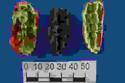 """Phát hiện """"kẹo cao su cổ đại"""" 8.000 năm tuổi"""