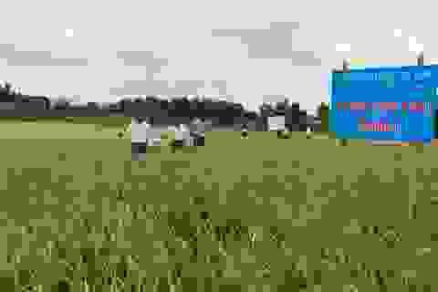 Giảng viên ĐH Trà Vinh nghiên cứu giống lúa thích nghi hạn, mặn