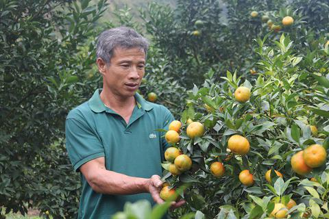 Lãi 250 triệu mỗi năm từ 750 gốc cam Canh trồng trên đất dốc