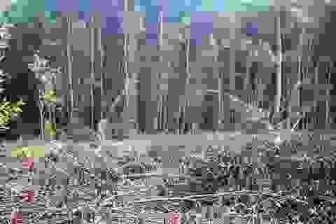"""Mạnh tay """"dẹp loạn"""" trồng keo trên đất nông nghiệp tại Bình Định!"""