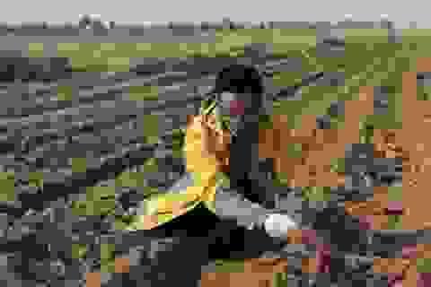 Trung Quốc: Tiến sĩ, thạc sĩ đua nhau về quê làm nông nghiệp sạch