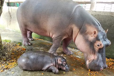 Lần đầu tiên Đồng Nai có Hà mã con được sinh ra hoàn toàn tự nhiên