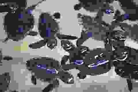 """Ngư tặc Trung Quốc bị """"tố"""" tiêu diệt rùa biển tại đảo Nhật Bản"""