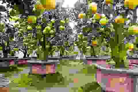 Vườn bưởi cảnh Tết tiền tỷ của lão nông Hưng Yên