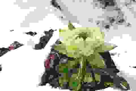 Tuyết Liên hoa và những giọt Cẩm chướng