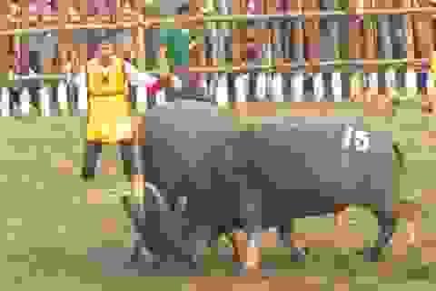 Yêu cầu chủ trâu không giết mổ trâu chọi tại Lễ hội Chọi trâu Hải Lựu