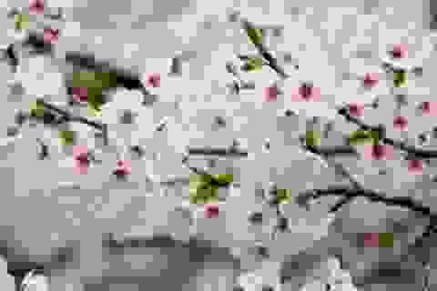 Rực rỡ lễ hội hoa anh đào tại Hàn Quốc