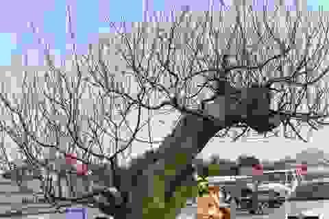"""Những cây """"đào khủng"""" giá hàng chục triệu đồng ở hội chợ hoa xuân Thanh Hoá"""