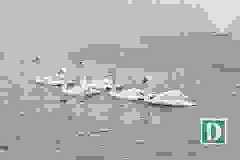 Ngắm đàn thiên nga tung tăng bơi lội giữa Hồ Gươm