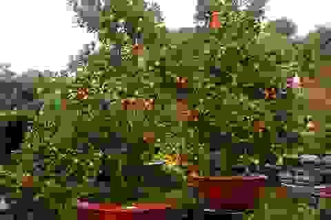 Quất cảnh 40 triệu đồng một cây bán Tết ở Sài Gòn